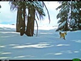 Sierra_Nevada_red_fox