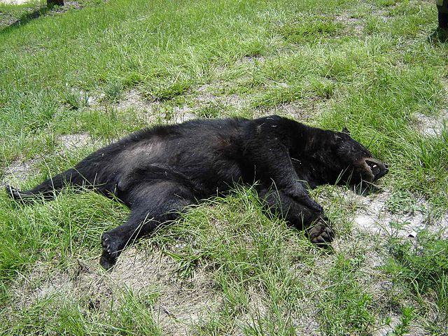 Dead_Florida_Black_Bear