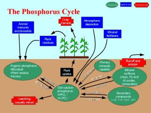 phosphoruscycle